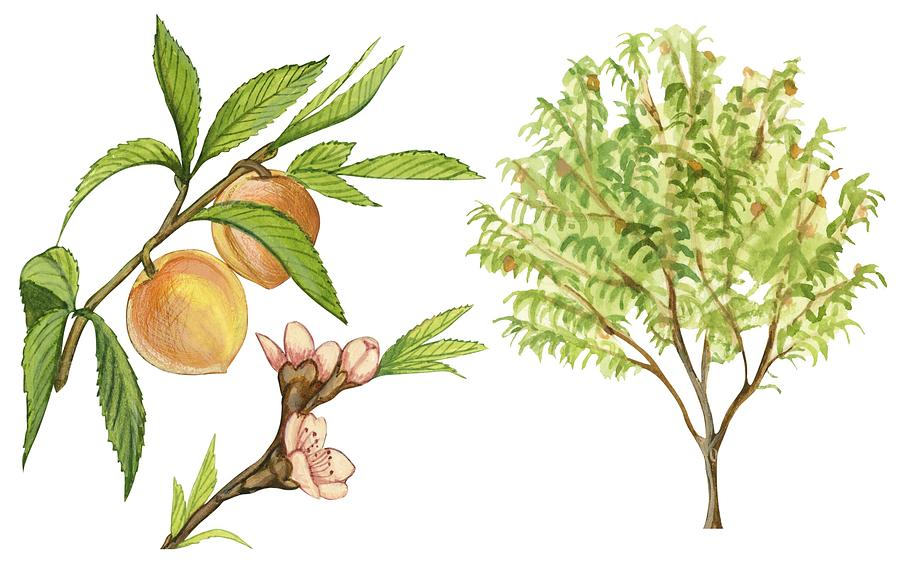 Peach Tree Drawing by Anonymous