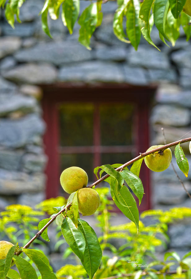 Old Mill Of Guilford Photograph - Peach Tree At The Old Mill Of Guilford by Sandi OReilly