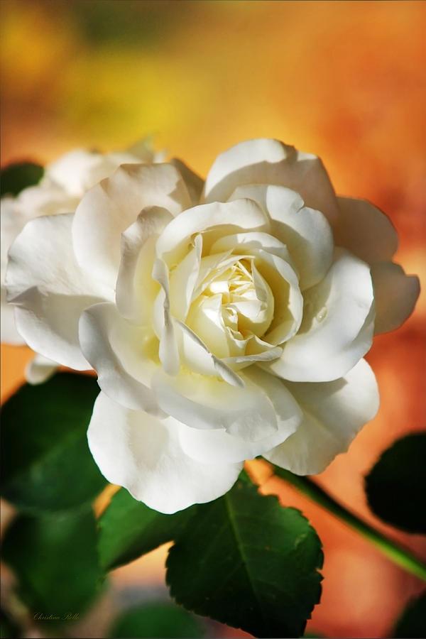 Rose Photograph - Peaches And Cream by Christina Rollo