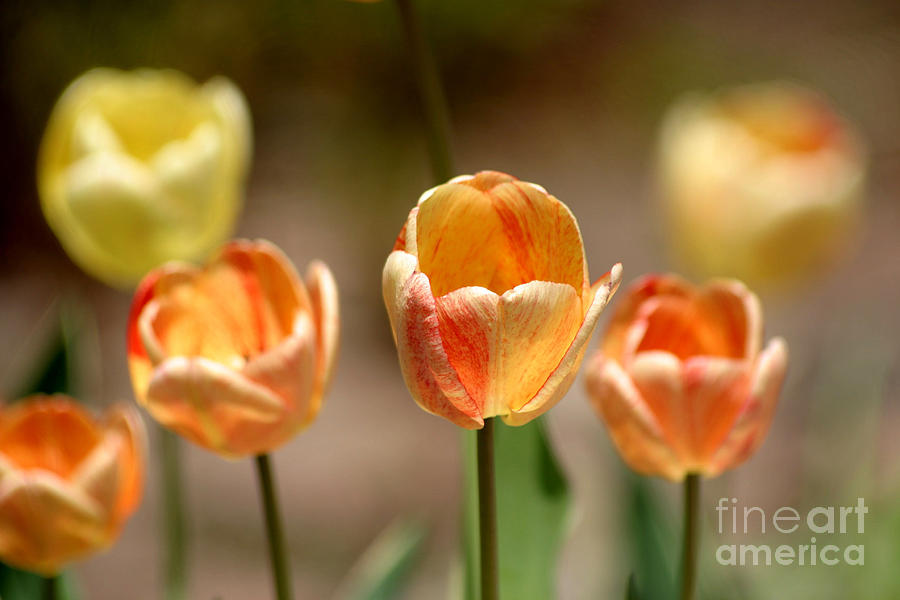 Tulips Photograph - Peaches And Cream by Living Color Photography Lorraine Lynch