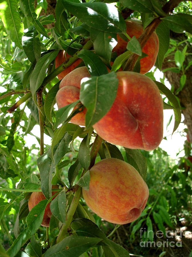 Peach Photograph - Peaches On The Tree by Kerri Mortenson