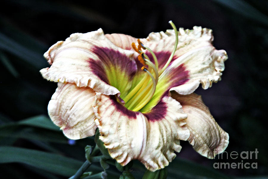 A Peach Photograph - Peachy With Ruffles Lily by Elizabeth Winter
