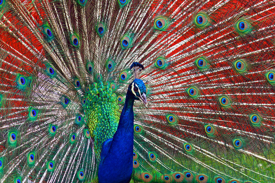 Peacock Photograph - Peacock And Red Barn by Jerry Gammon