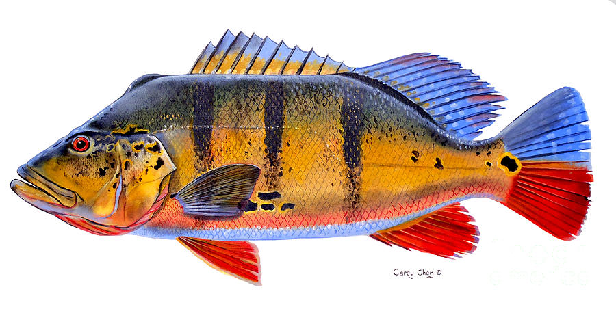Peacock Bass Painting - Peacock Bass by Carey Chen