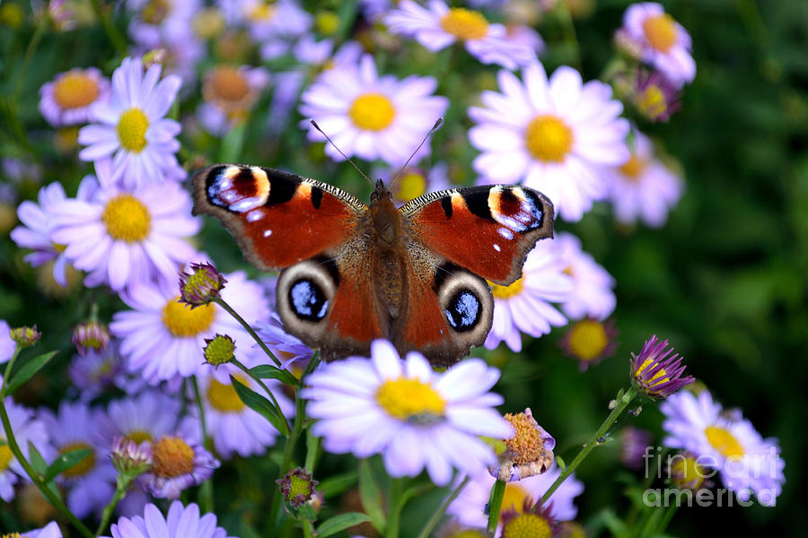 Peacock Butterfly Photograph - Peacock Butterfly Perched On The Daisies by Scott Lyons