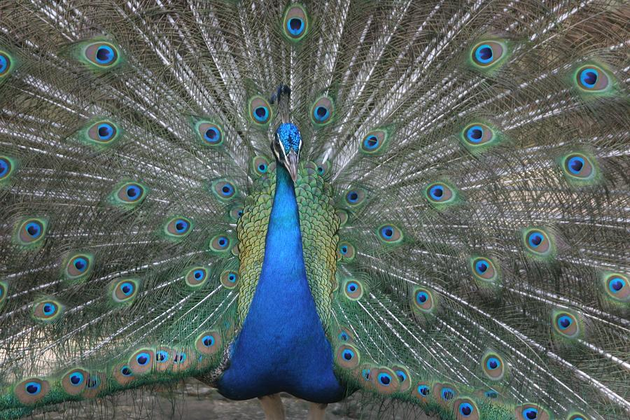 Bird Photograph - Peacock by Dervent Wiltshire
