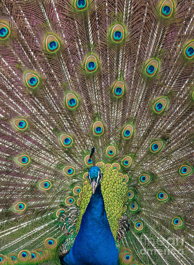 Peacock Display Photograph