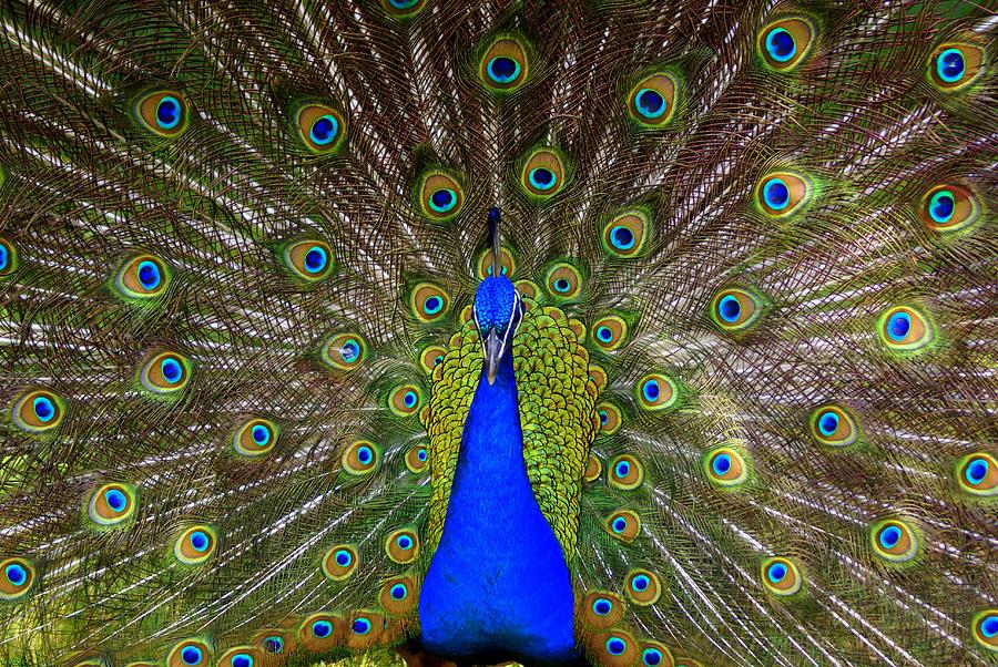 Peacock Photograph - Peacock Extraordinaire  by DerekTXFactor Creative