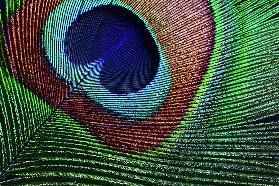Peacock Feather Photograph by Ithinksky