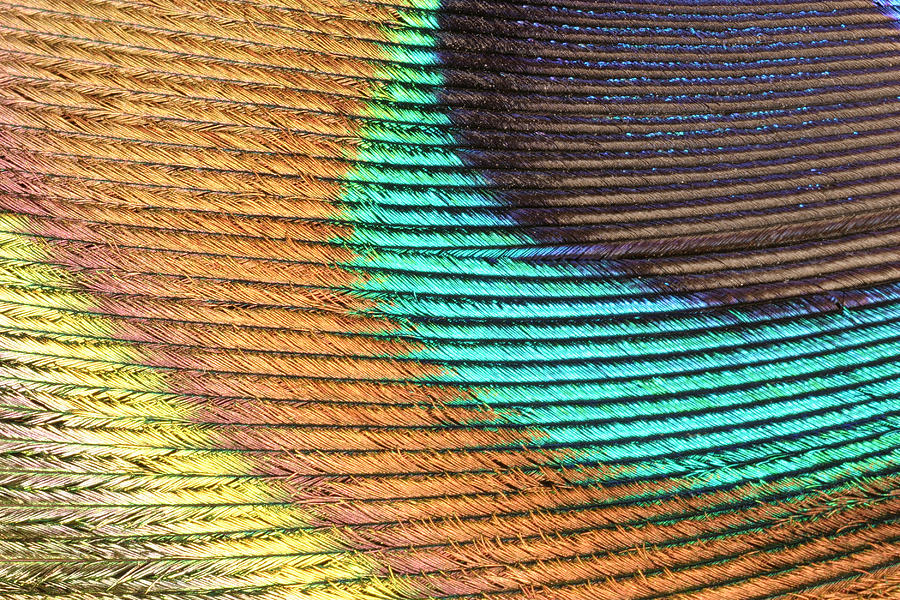 Pavo Photograph - Peacock Feather by Ted Kinsman/science Photo Library