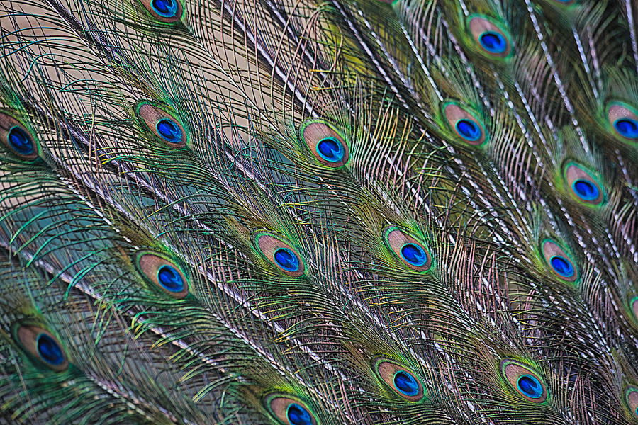 Feather Photograph - Peacock Feathers Abstract by Eti Reid