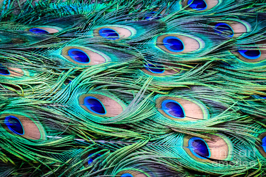 Peacock Feathers Abstract Photograph By Peta Thames