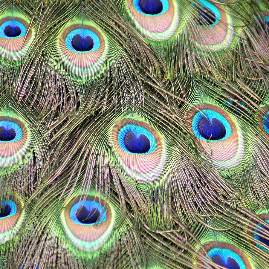 Feathers Photograph - Peacock Feathers by Karen Lindquist