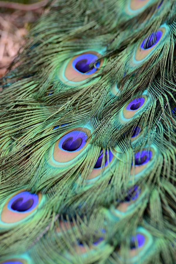 Peacock Photograph - Peacock Feathers by T C Brown