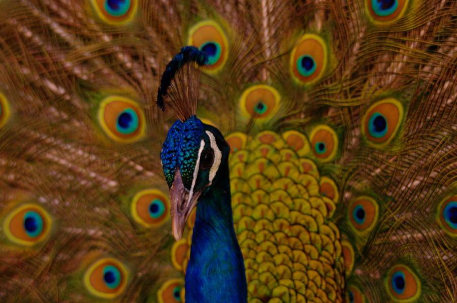 Peacocks Photograph - Peacock by Jeff Swan