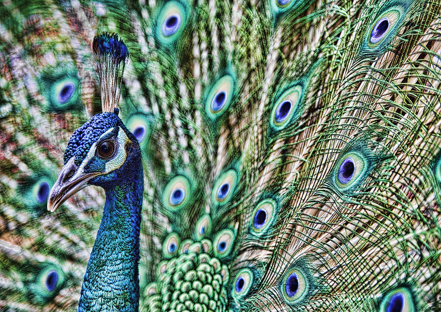 Peacock Photograph - Peacock by Karen Walzer