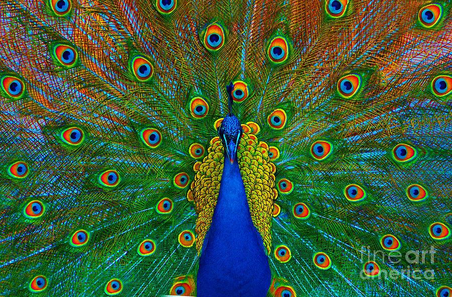 Peacock Photograph - Peacock by Lilianna Sokolowska