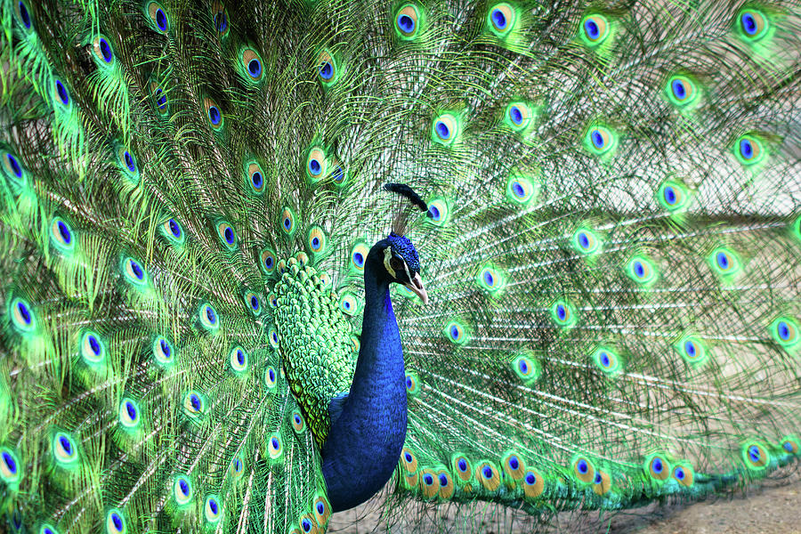 Peacock Photograph by Pengpeng