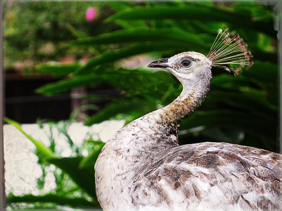 Peacock Bird Feathers Photograph - Peacock Portrait by Ella Kaye Dickey