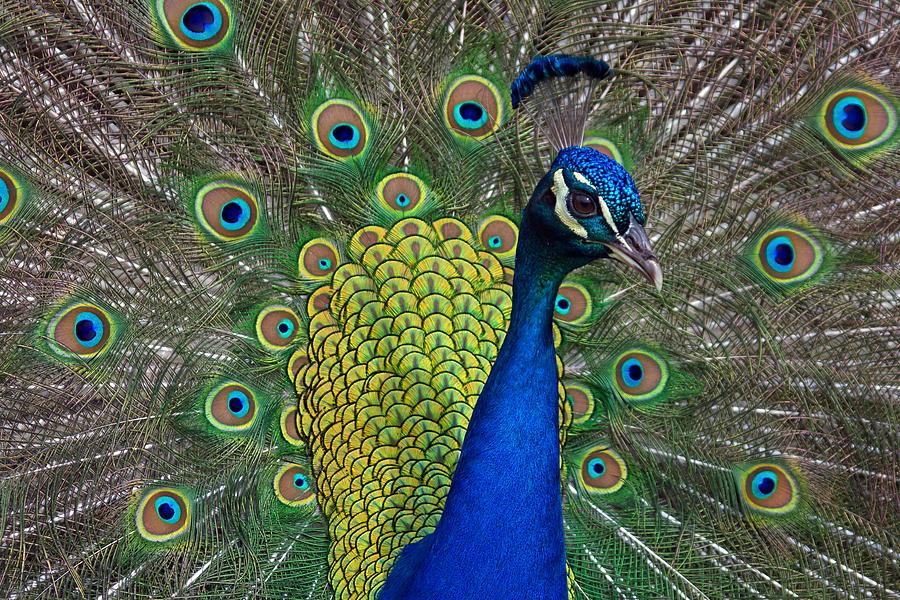 Bluebird Gap Farm Photograph - Peacock Portrait by Jerry Gammon