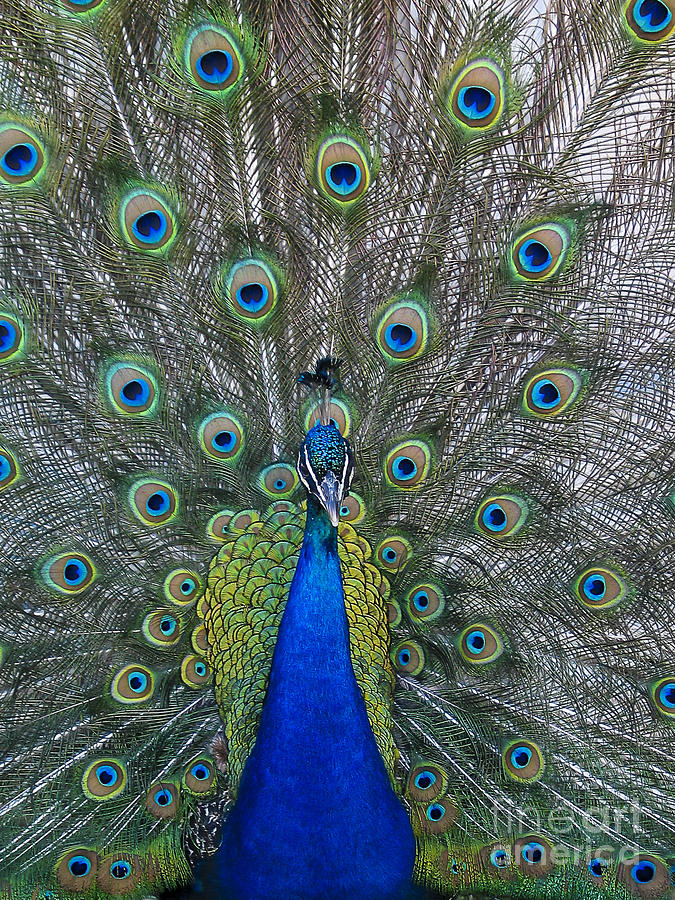 Peacock Photograph by Steven Ralser