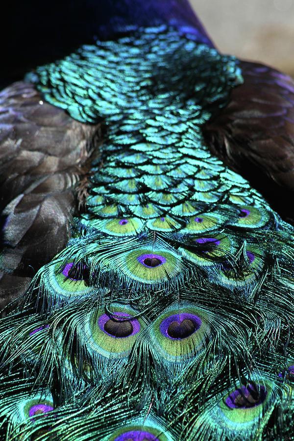 Peacock Photograph - Peacock Trail by Karol Livote