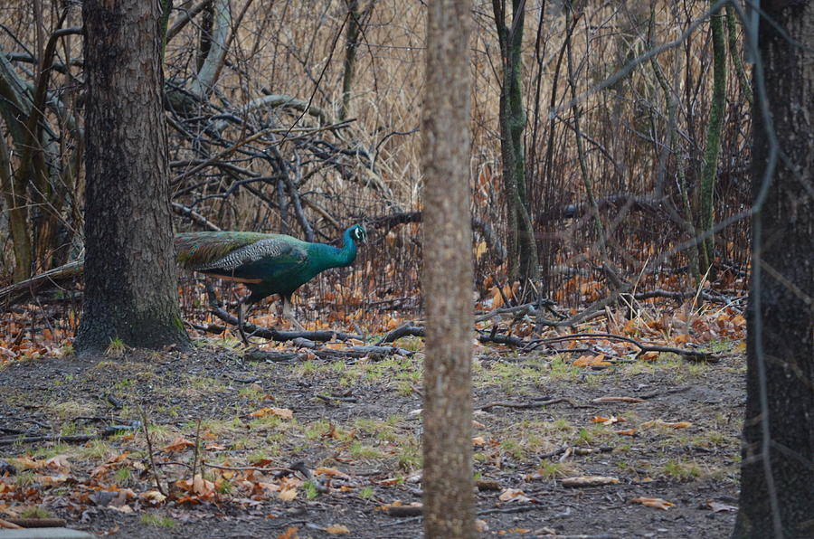Nature Photograph - Peacock2 by Jennifer  King