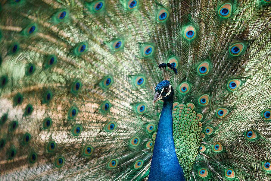 Peacock Photograph - Peacocking by Nastasia Cook