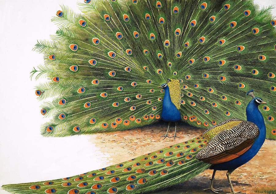 https://images.fineartamerica.com/images-medium-large-5/peacocks-rb-davis.jpg