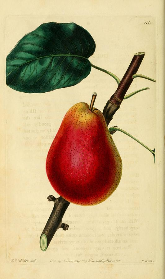 Pear Painting - Pear 1829 by Philip Ralley