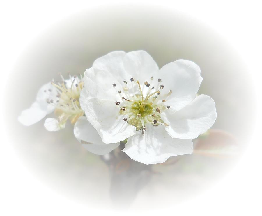 Pear Photograph - Pear Blossom by Judy Hall-Folde
