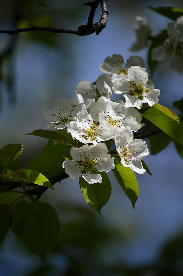 Pear Tree Photograph - Pear Blossoms by David Earl Johnson
