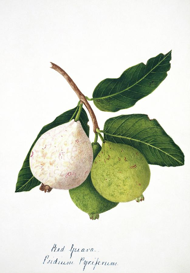 Guava Fruits Pictures