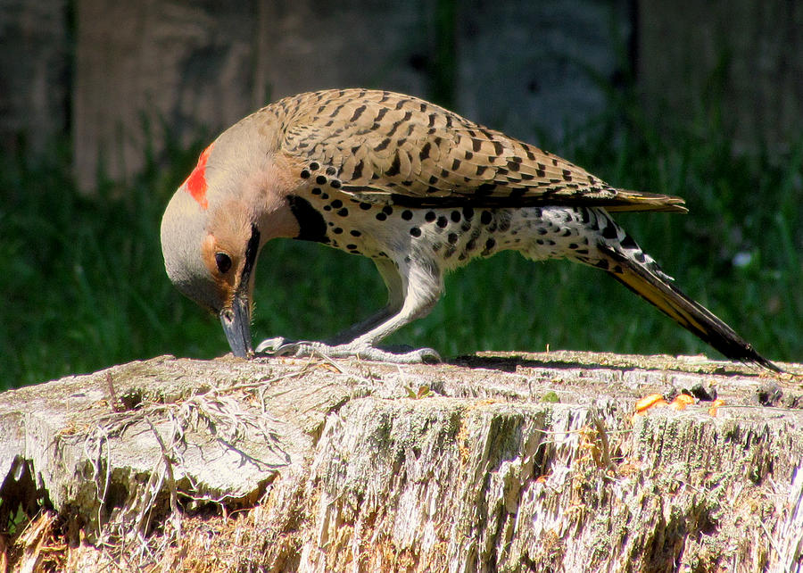 Birds Photograph - Pecking Flicker by Lori Pessin Lafargue