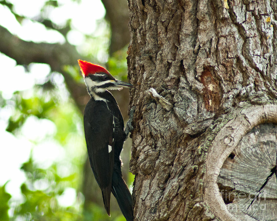 Woodpecker Photograph - Pecking Woodpecker by Stephen Whalen