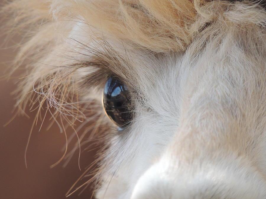 Alpaca Photograph - Peek A Boo Alpaca by Helen Carson