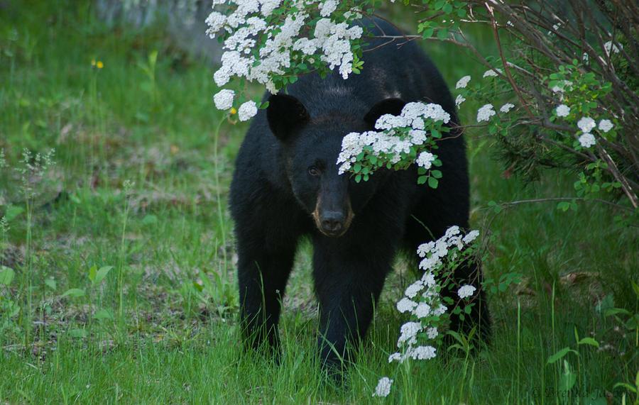 Bear Photograph - Peek-a-boo by Brenda Jacobs