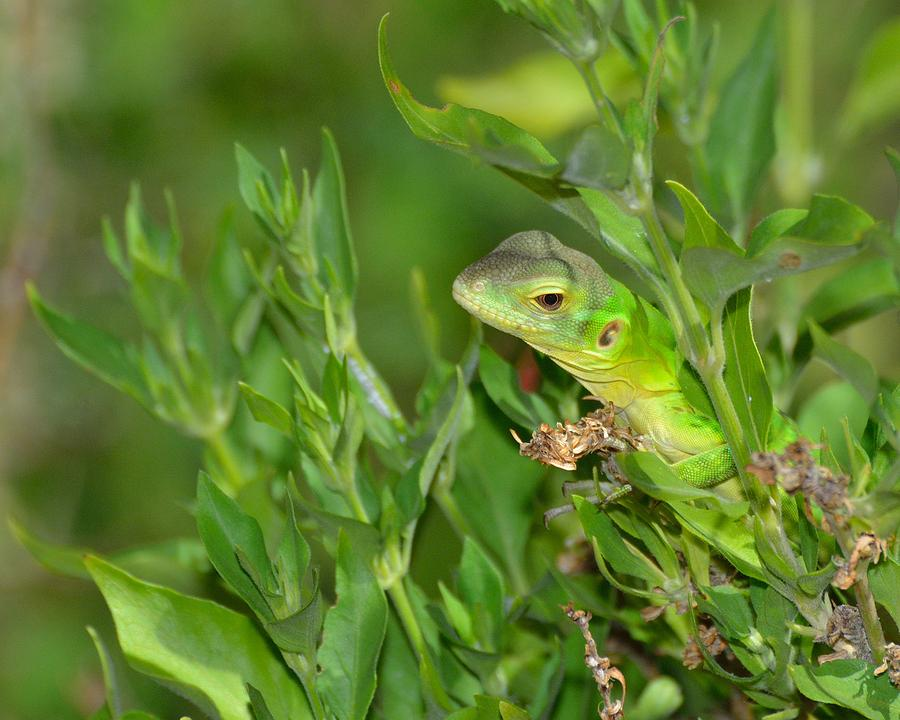 Lizard Photograph - Peek A Boo by Old Pueblo Photography