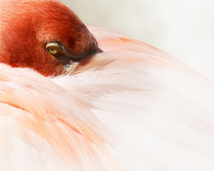 Flamingo Photograph - Peek-a-boo by Wayne Wood