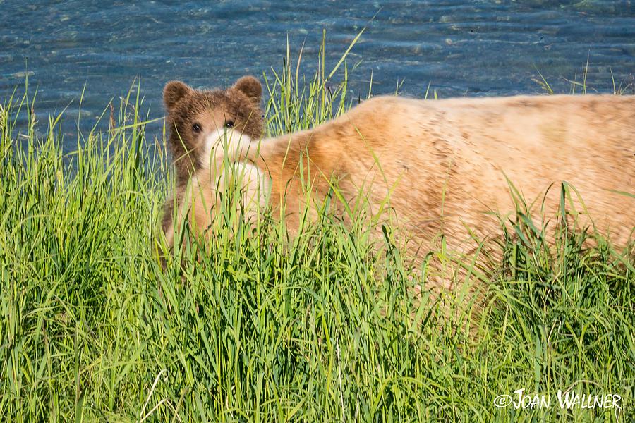 Alaska Photograph - Peekaboo by Joan Wallner