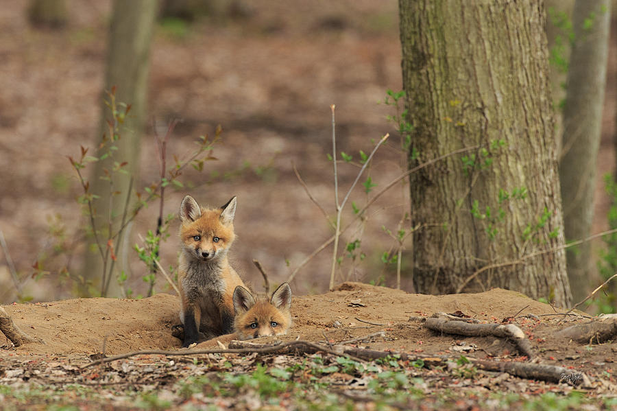 Red Fox Photograph - Peeking From The Fox Hole by Everet Regal