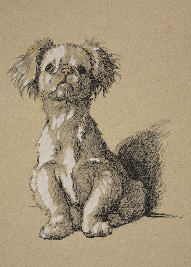 Dog Drawing - Peke, 1930, Illustrations by Cecil Charles Windsor Aldin