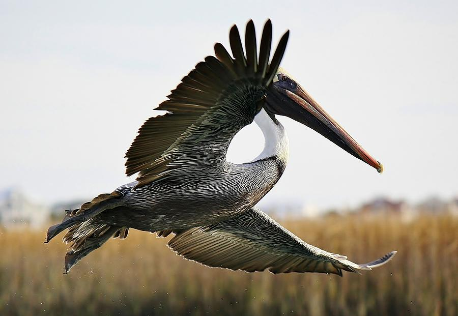Pelican Photograph - Pelican About Turn by Paulette Thomas