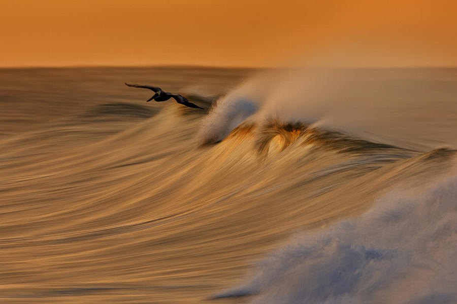 Orias Photograph - Pelican and Wave  MG_6950 by David Orias