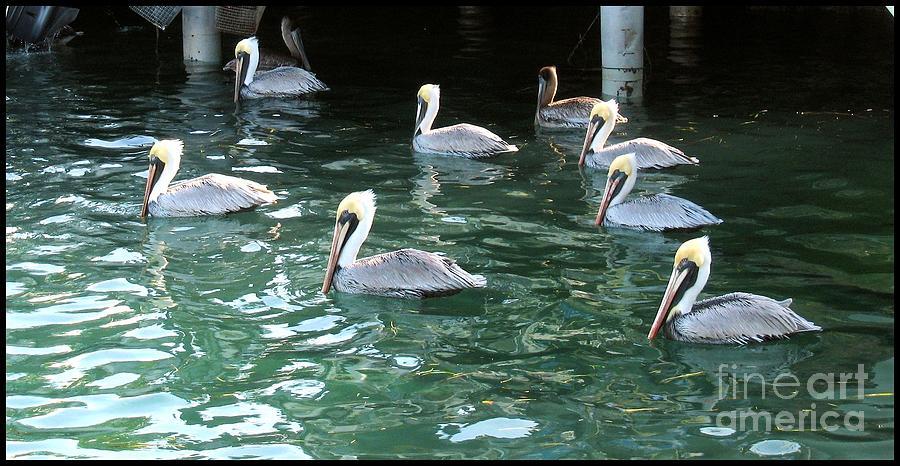 Marine Photograph - Pelican Ballet by Claudette Bujold-Poirier