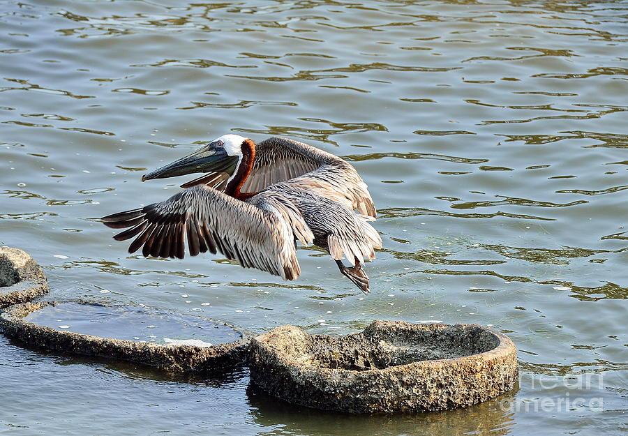 Pelican Brown Leaps over Barnacle Ring by Wayne Nielsen