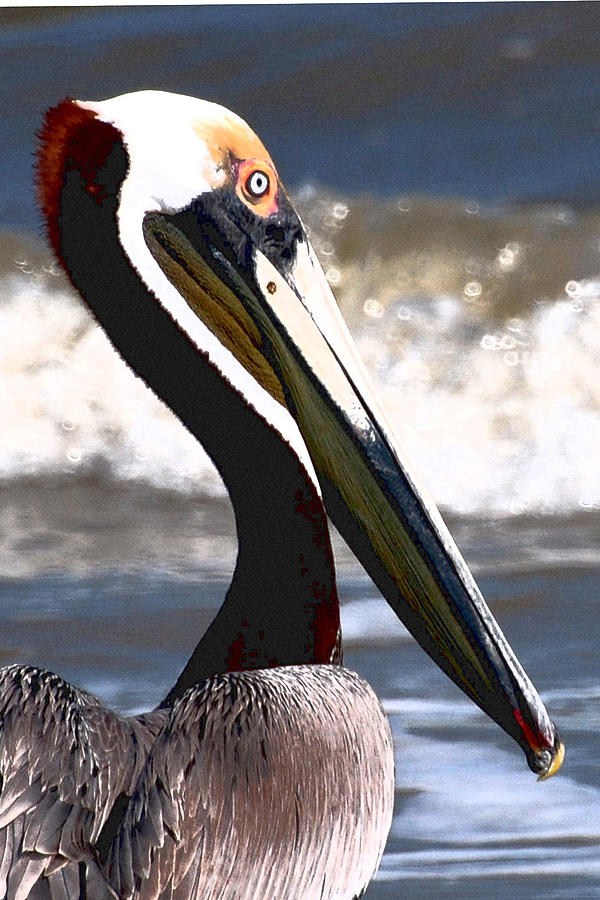 Pelican close up by Peter DeFina