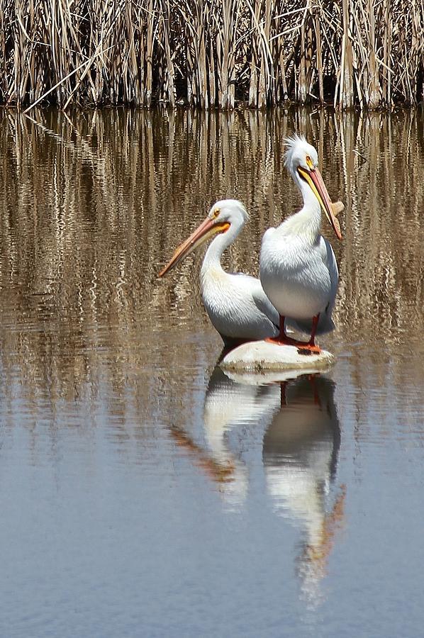 American White Pelican Photograph - Pelican Deuce by Diane Alexander