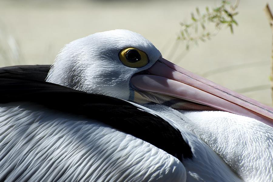 Australian Photograph - Pelican Eye by Graham Palmer