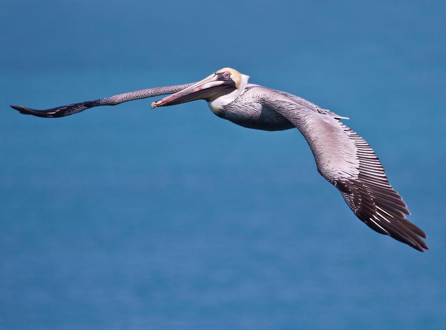 Pelican Photograph - Pelican In Flight Florida by Mr Bennett Kent